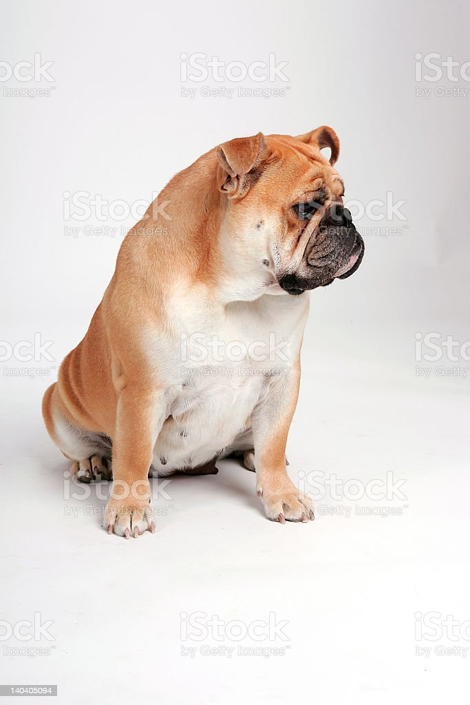 Bulldog looking other way stock photo