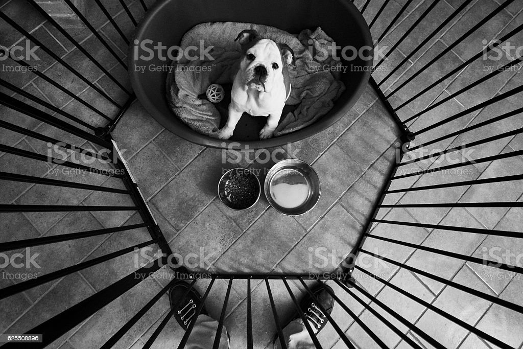 Bulldog looks up at her owner at feeding time stock photo