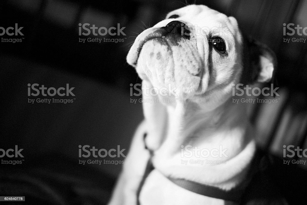 Bulldog looks up while in her kennel stock photo