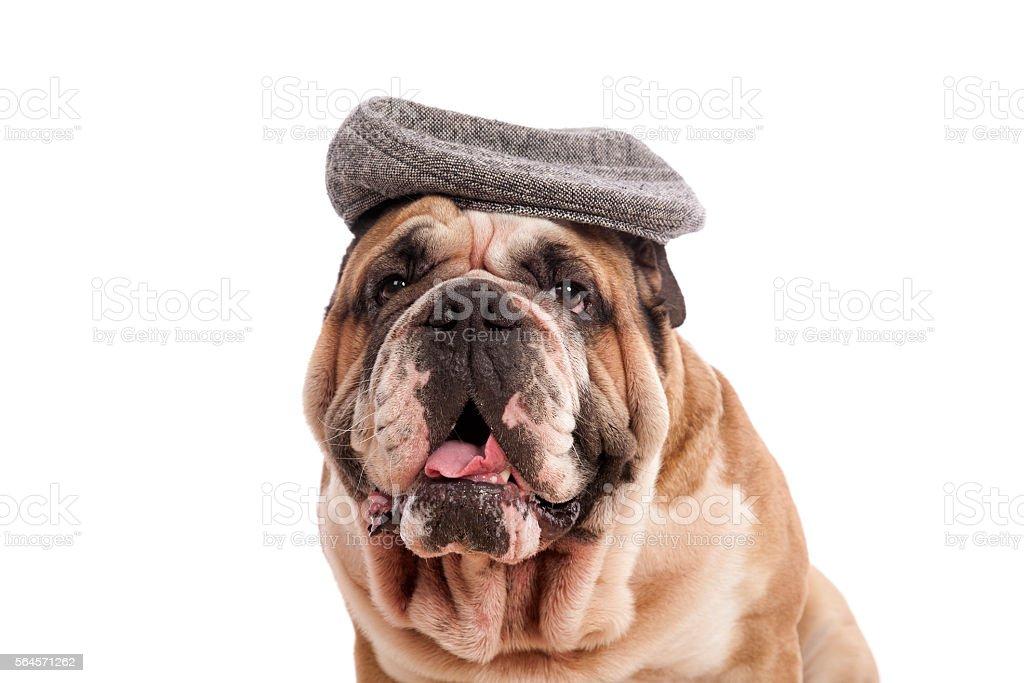 Bulldog Old Man stock photo