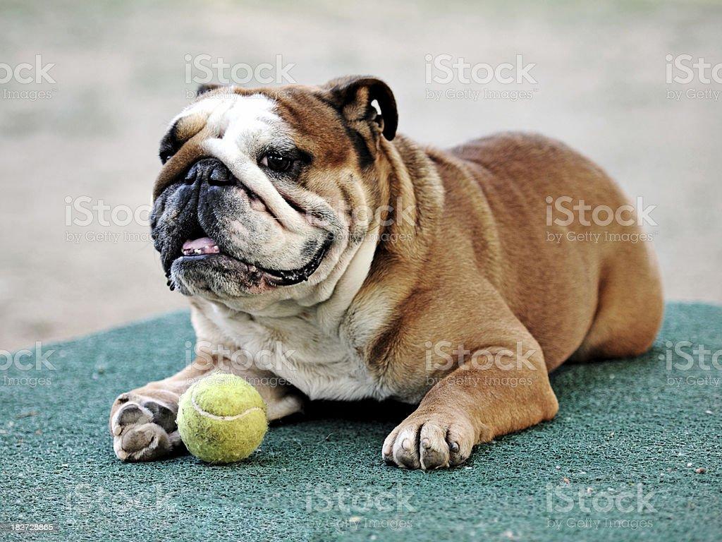 Bulldog royalty-free stock photo