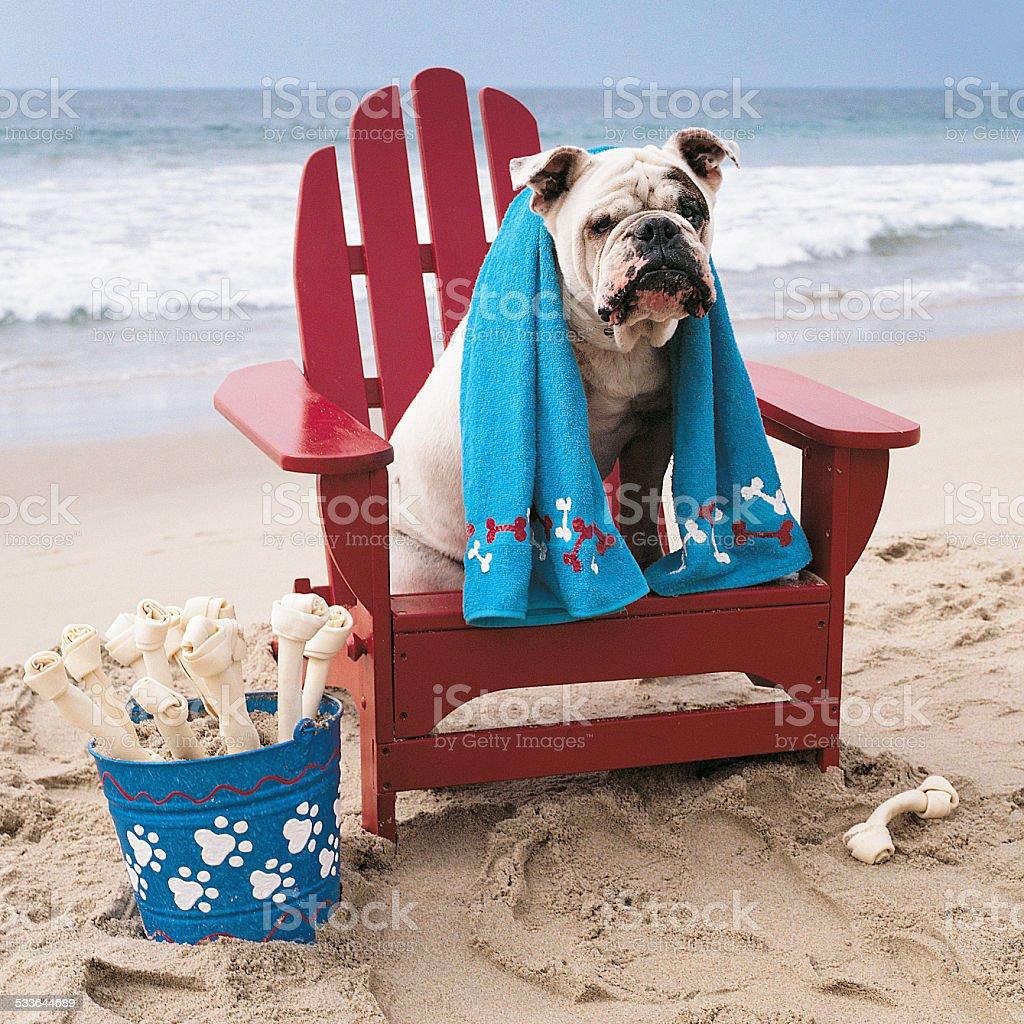 Bulldog sitting on adirondack chair on beach stock photo