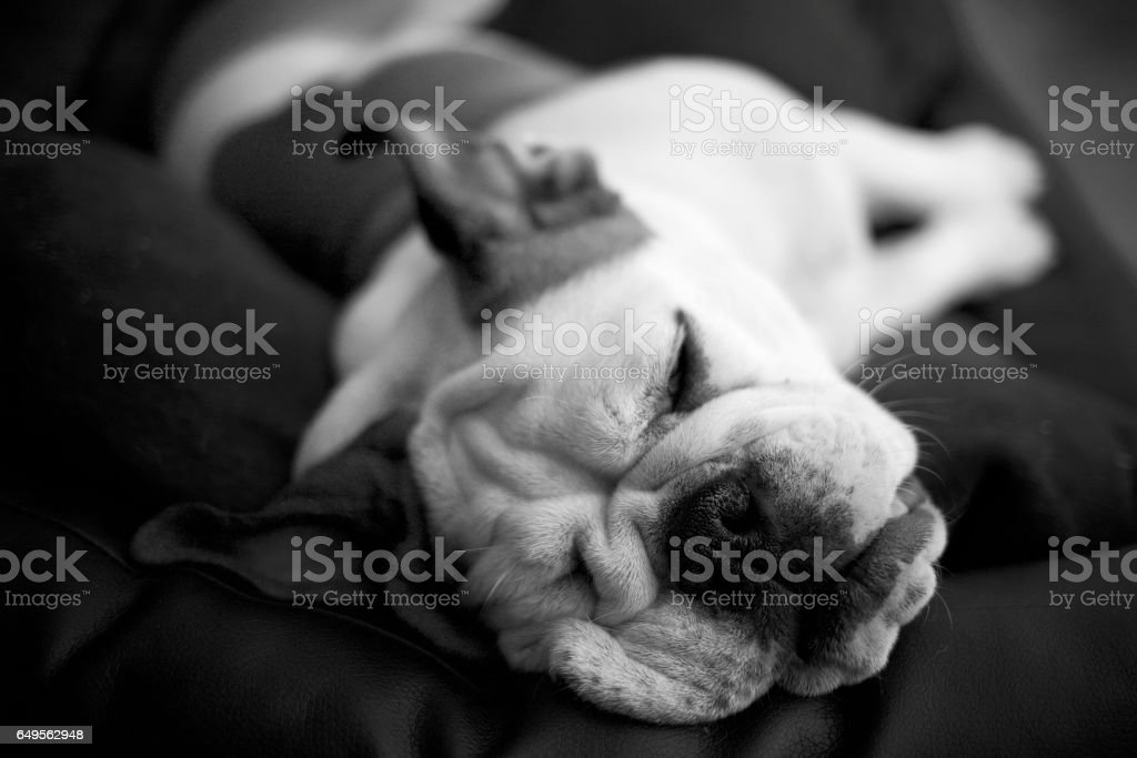 Bulldog sleeps, oblibìvious of the world outside stock photo