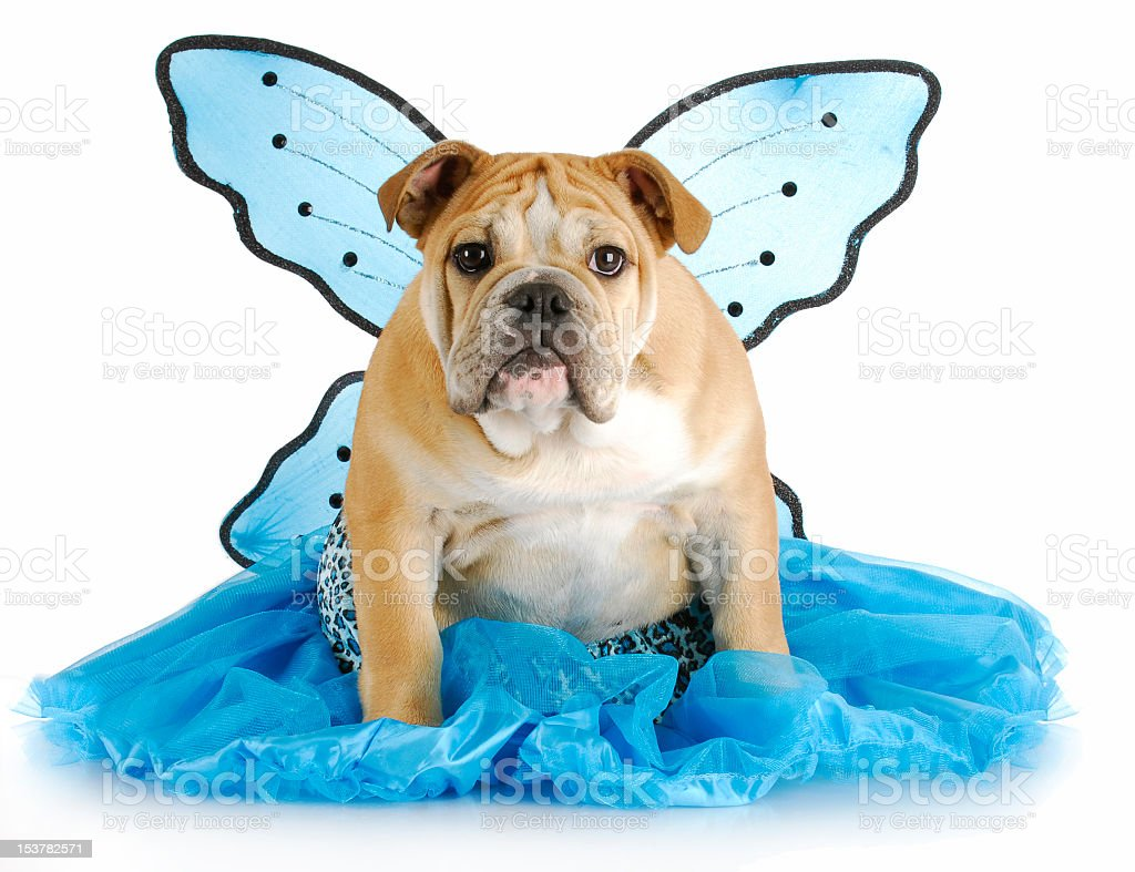 Bulldog wearing blue skirt and butterfly wings royalty-free stock photo