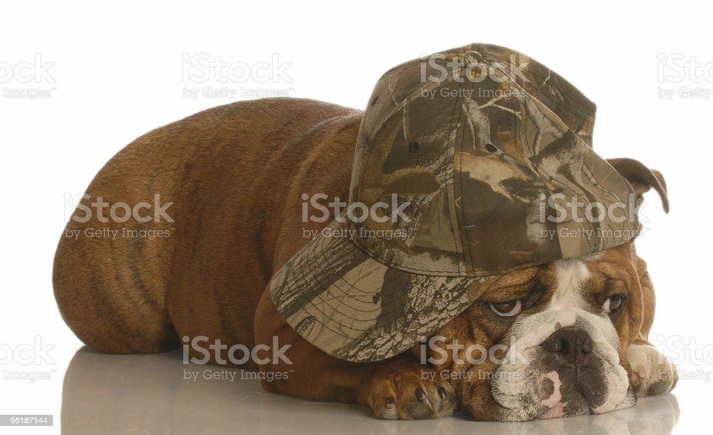 bulldog wearing camouflage ball cap royalty-free stock photo