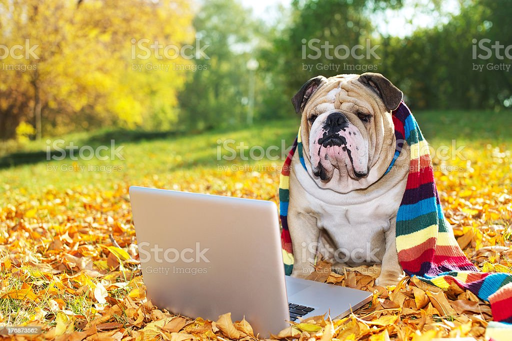 Bulldog with a laptop in autumn royalty-free stock photo