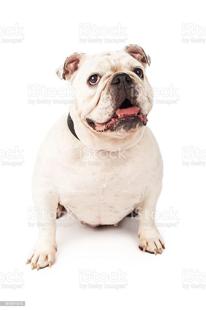Bulldog With Happy Expression royalty-free stock photo