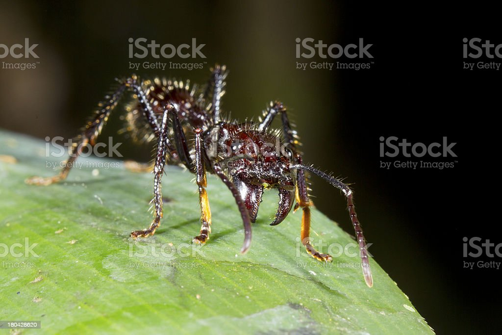 Bullet or Conga Ant (Paraponera clavata) royalty-free stock photo