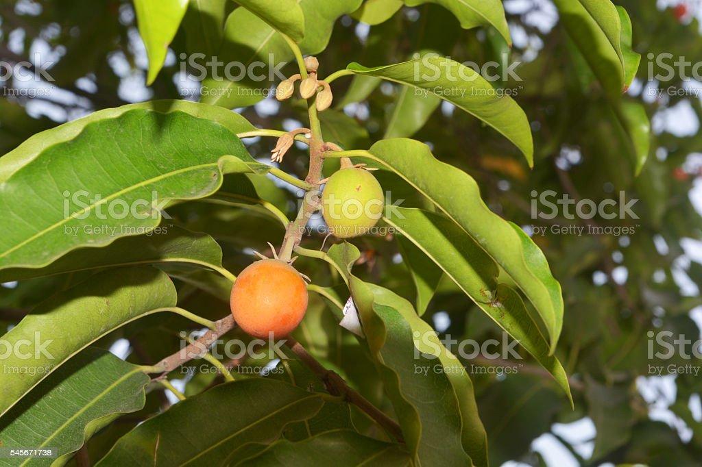 bullet wood fruit on the tree (Mimusops elengi L.) stock photo