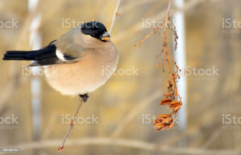 Bullfinch female is eating plant seeds on the bush outdoor in winter stock photo