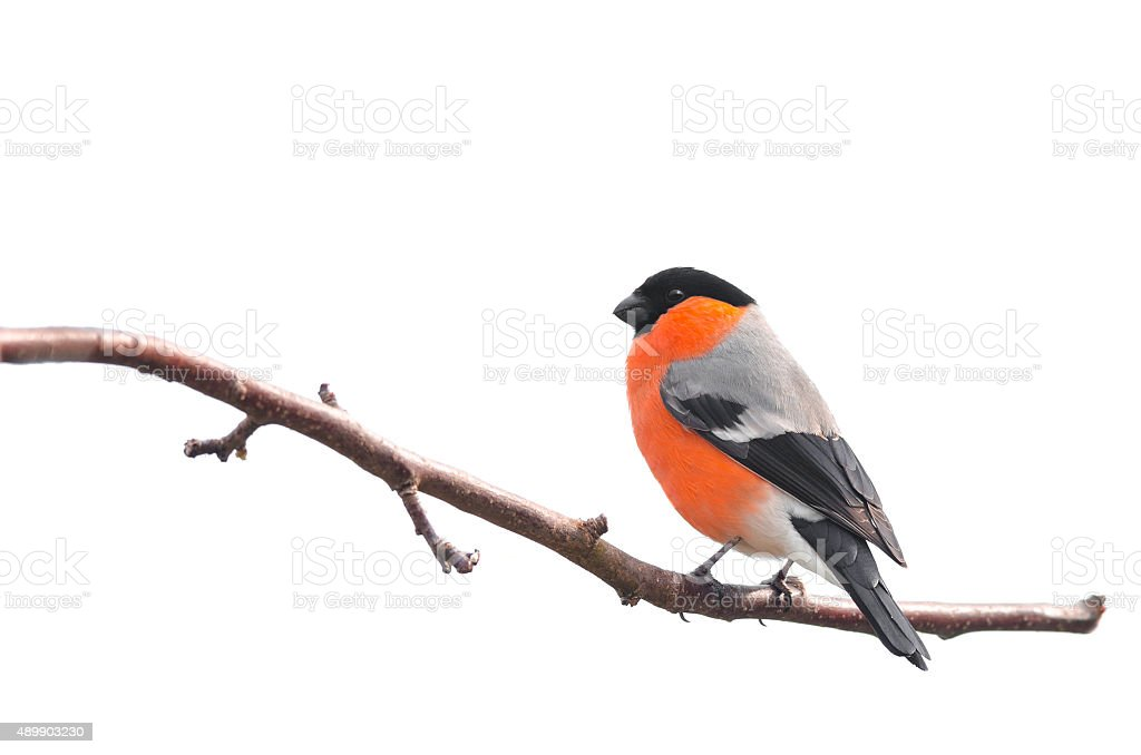 Bullfinch sitting on a branch isolated on white background