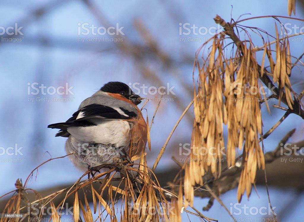 Bullfinch on branch royalty-free stock photo