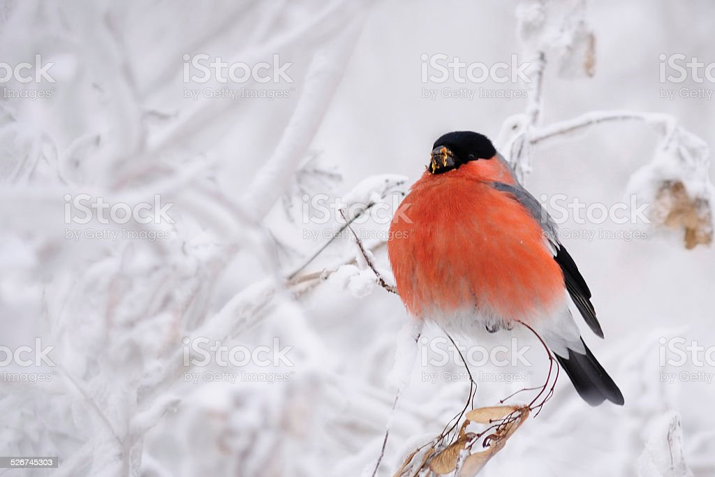 Bullfinch on the snowy branches. stock photo