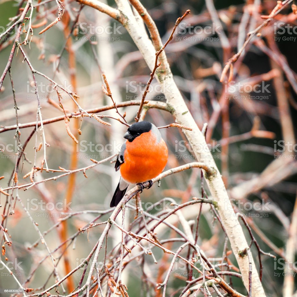 Bullfinch on the tree branch. stock photo