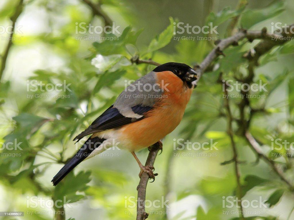 Bullfinch (Pyrrhula-pyrrhula) royalty-free stock photo