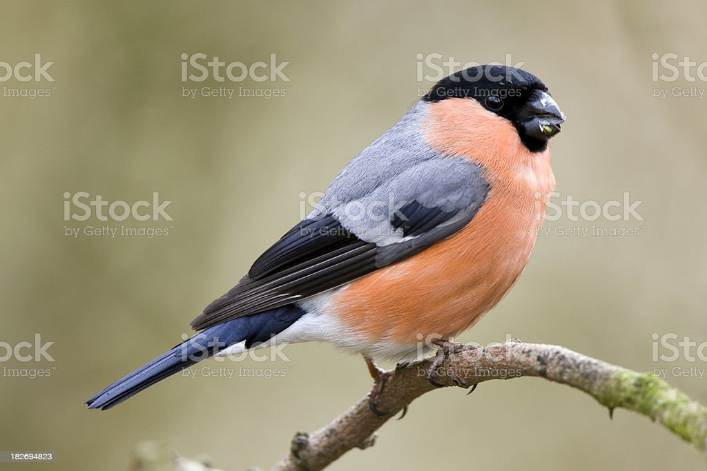 Bullfinch (Pyrrhula-pyrrhula) royalty-free stock photo