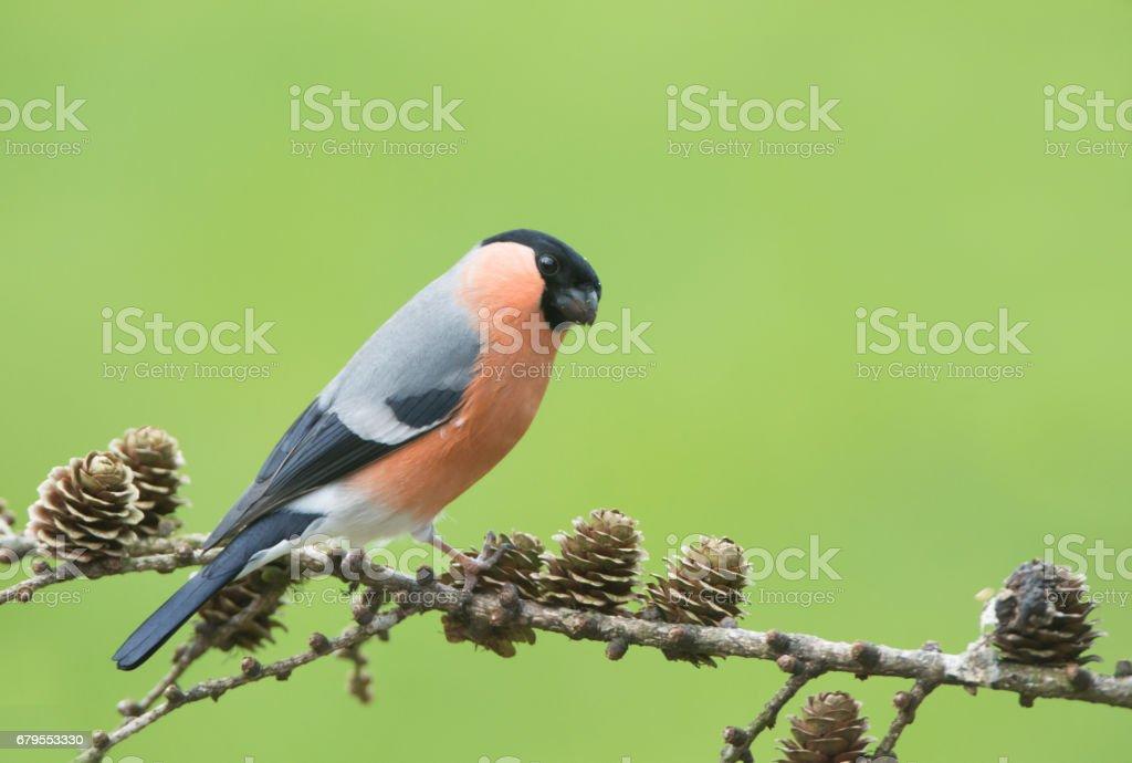Bullfinch stock photo