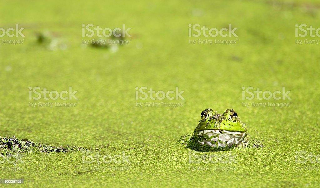 Bullfrog at Brazos Bend royalty-free stock photo
