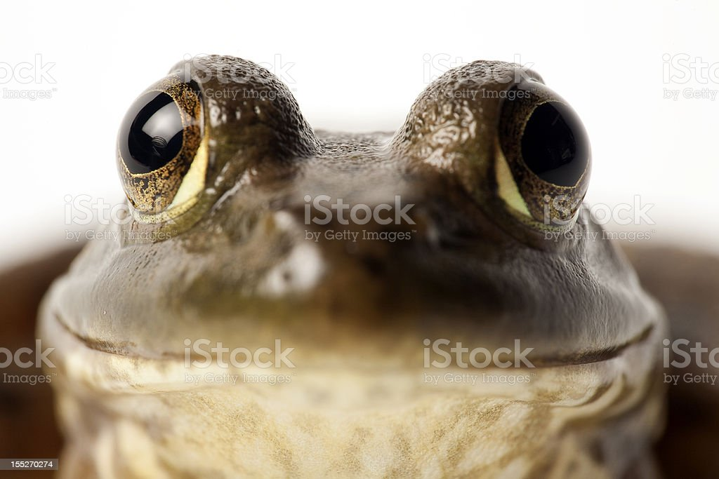 Bullfrog eyes royalty-free stock photo