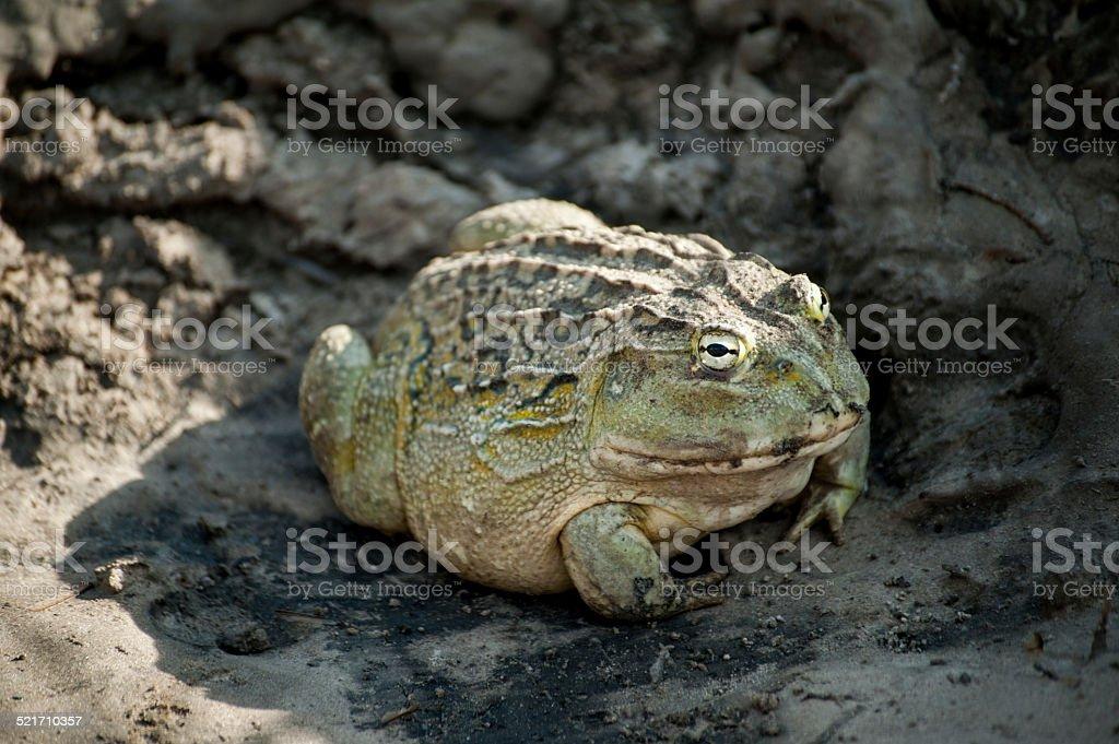 Bullfrog in Botswana Game Reserves stock photo