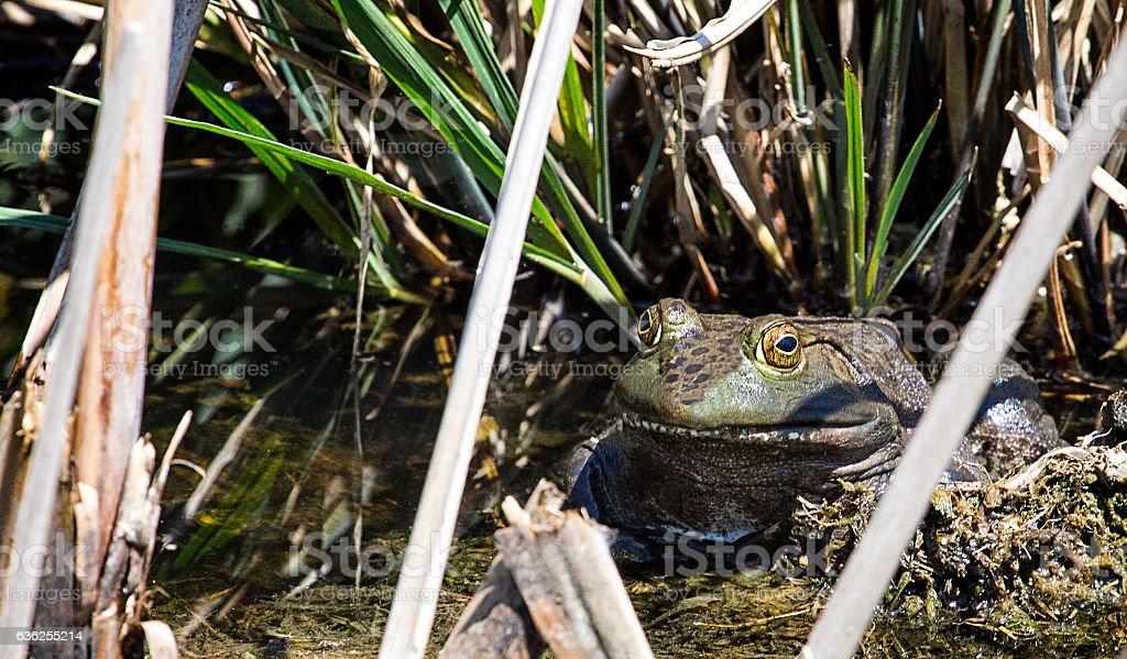 Bullfrog in March stock photo