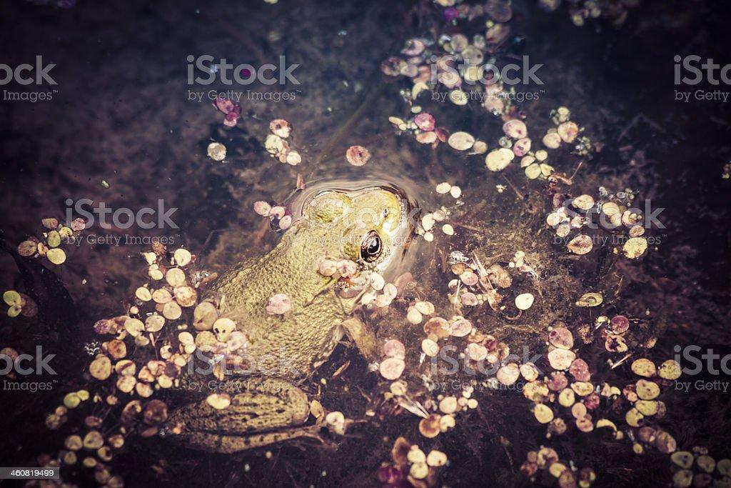 Bullfrog In The Swamp royalty-free stock photo