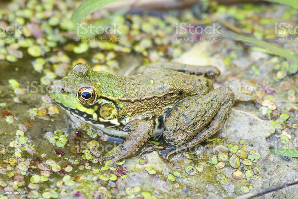Bullfrog In The Swamp royalty-free stock photo
