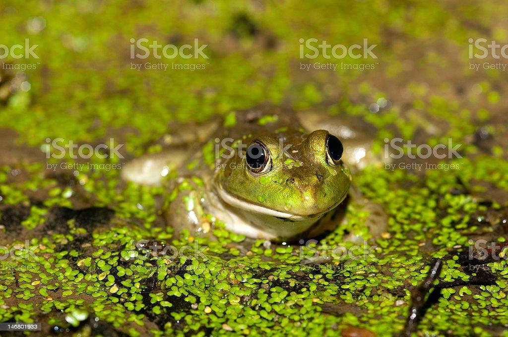 Bullfrog on a pond stock photo