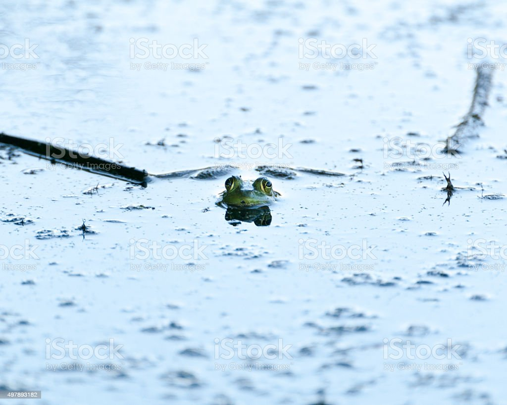 Bullfrog Peeking Out of Pond stock photo