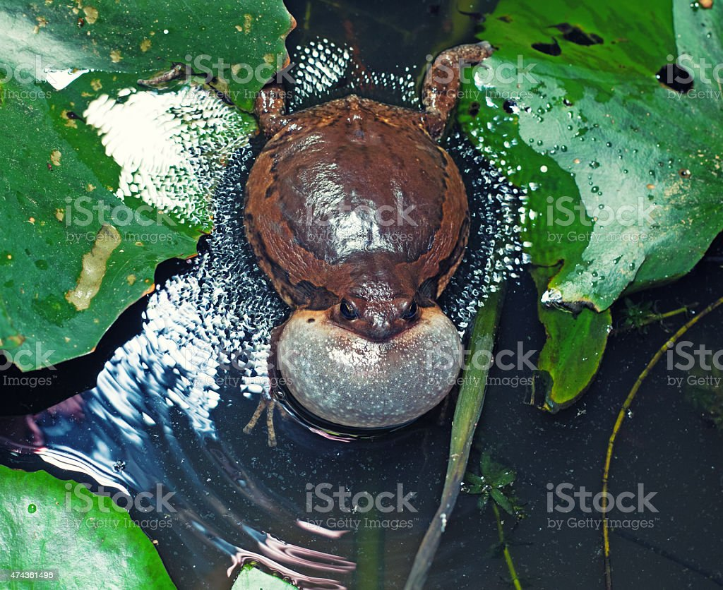 bullfrog stock photo