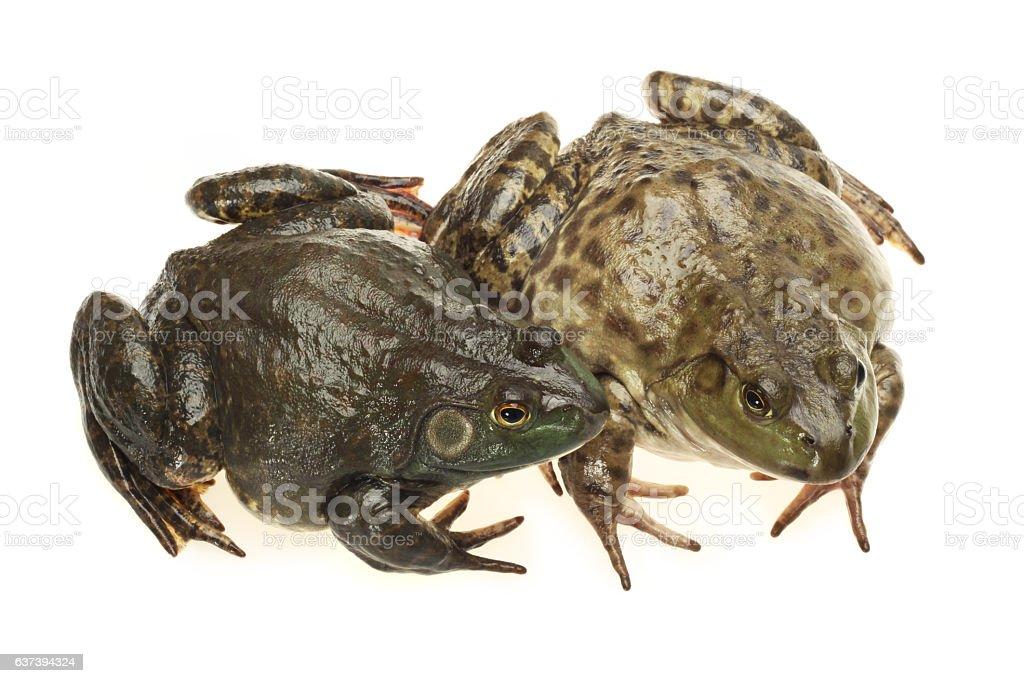 Bullfrog, Rana catesbeiana, stock photo