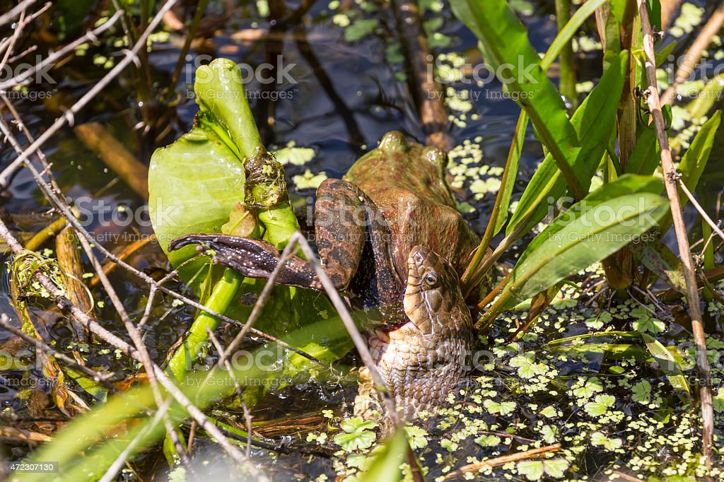 Bullfrog Tries to Escape as Northern Water Snake Eats It stock photo