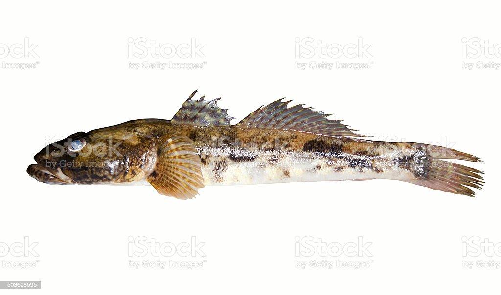 Bullhead freshwater fish stock photo