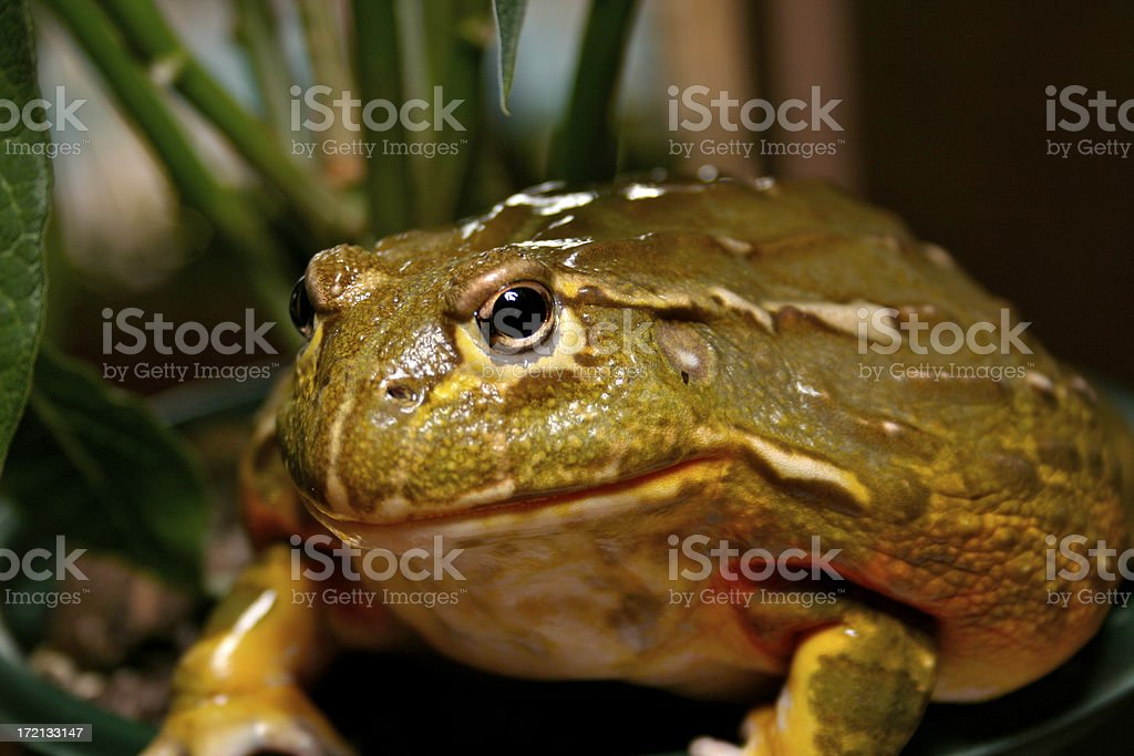 Bullish Frog royalty-free stock photo