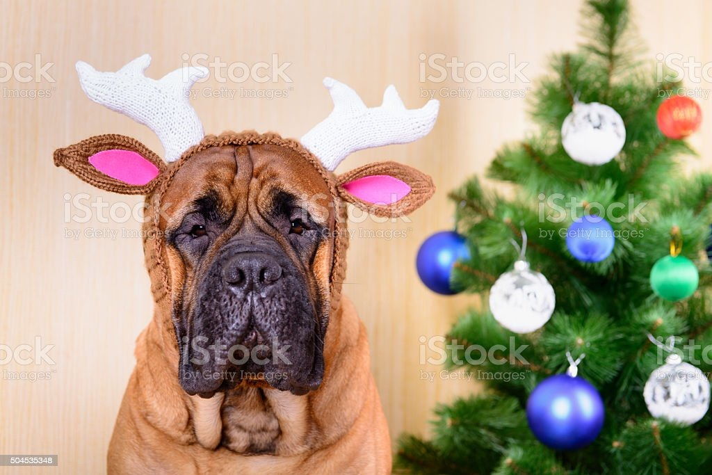 bullmastiff dog and Christmas tree stock photo