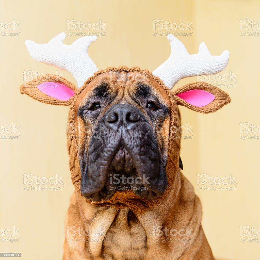 bullmastiff dog in winter hat stock photo