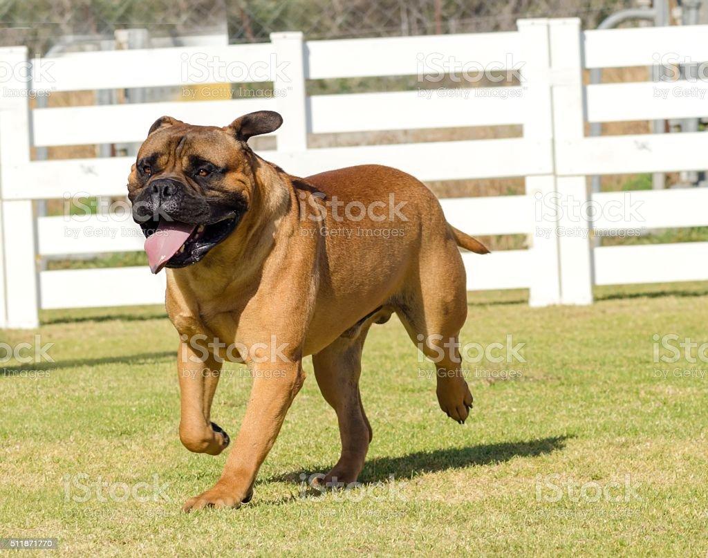 Bullmastiff dog stock photo