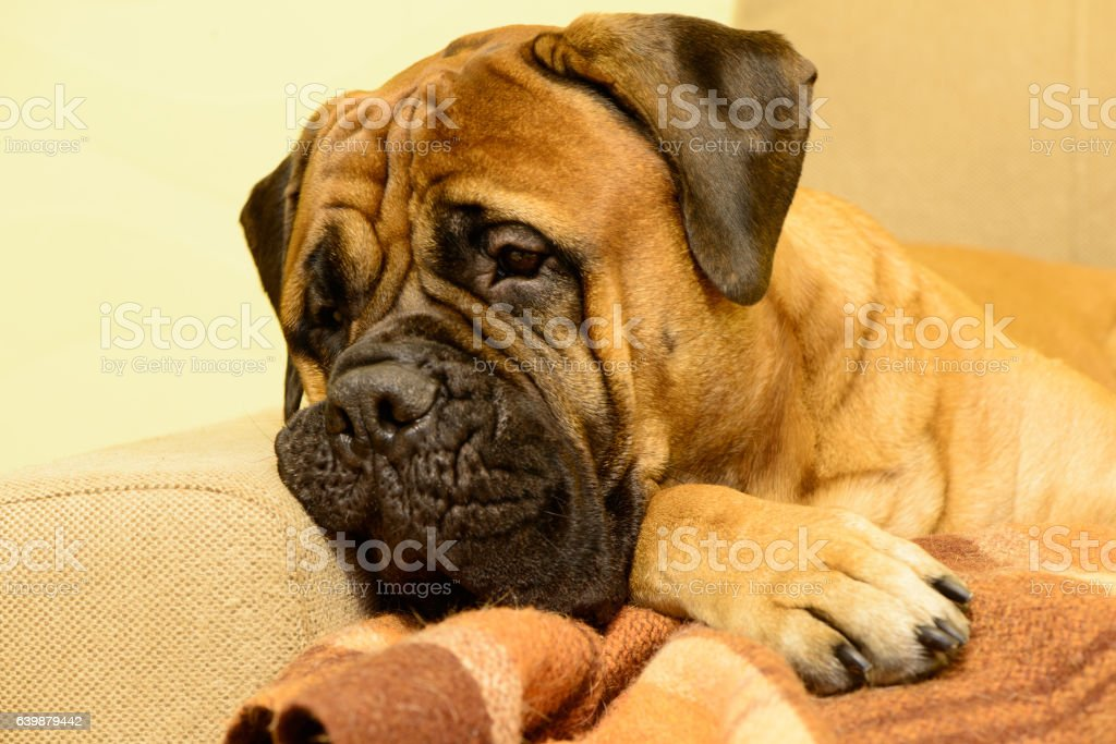 bullmastiff dog resting stock photo