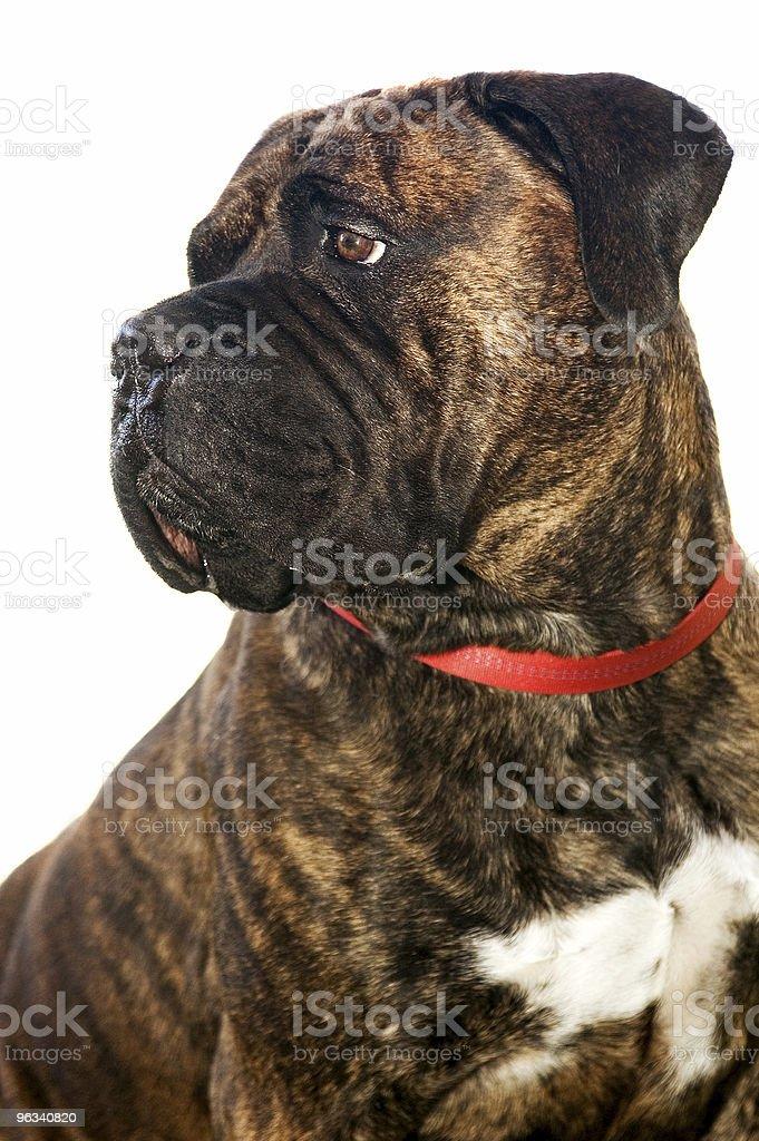 Bullmastiff stock photo
