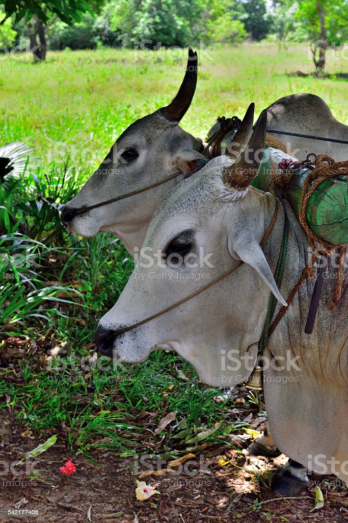 OX Bullock carriage stock photo