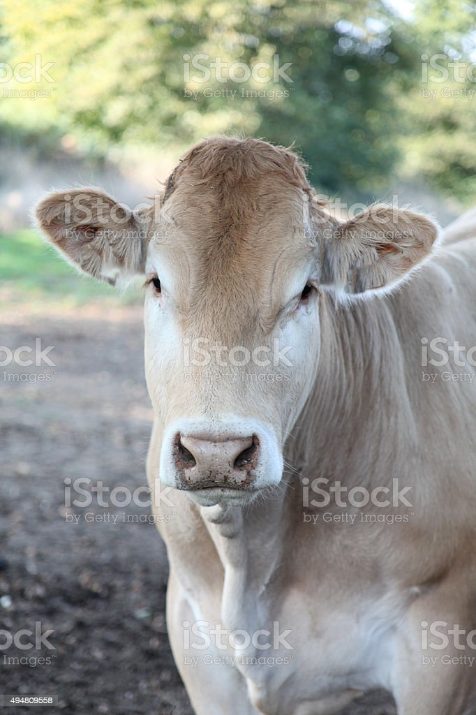 Bullock in Field. stock photo