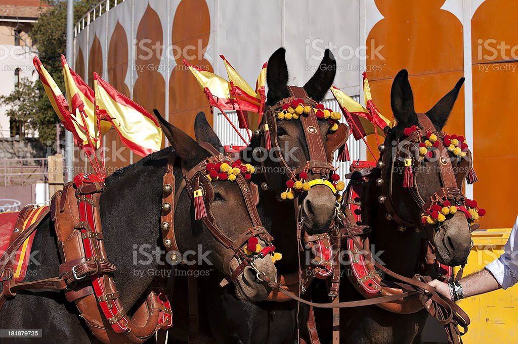 Bullring .Mules drag royalty-free stock photo