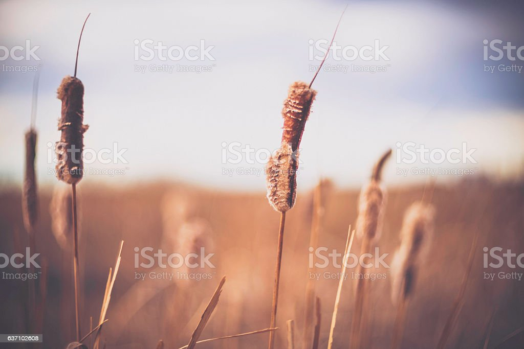 Bullrush plants weathered and worn in winter stock photo