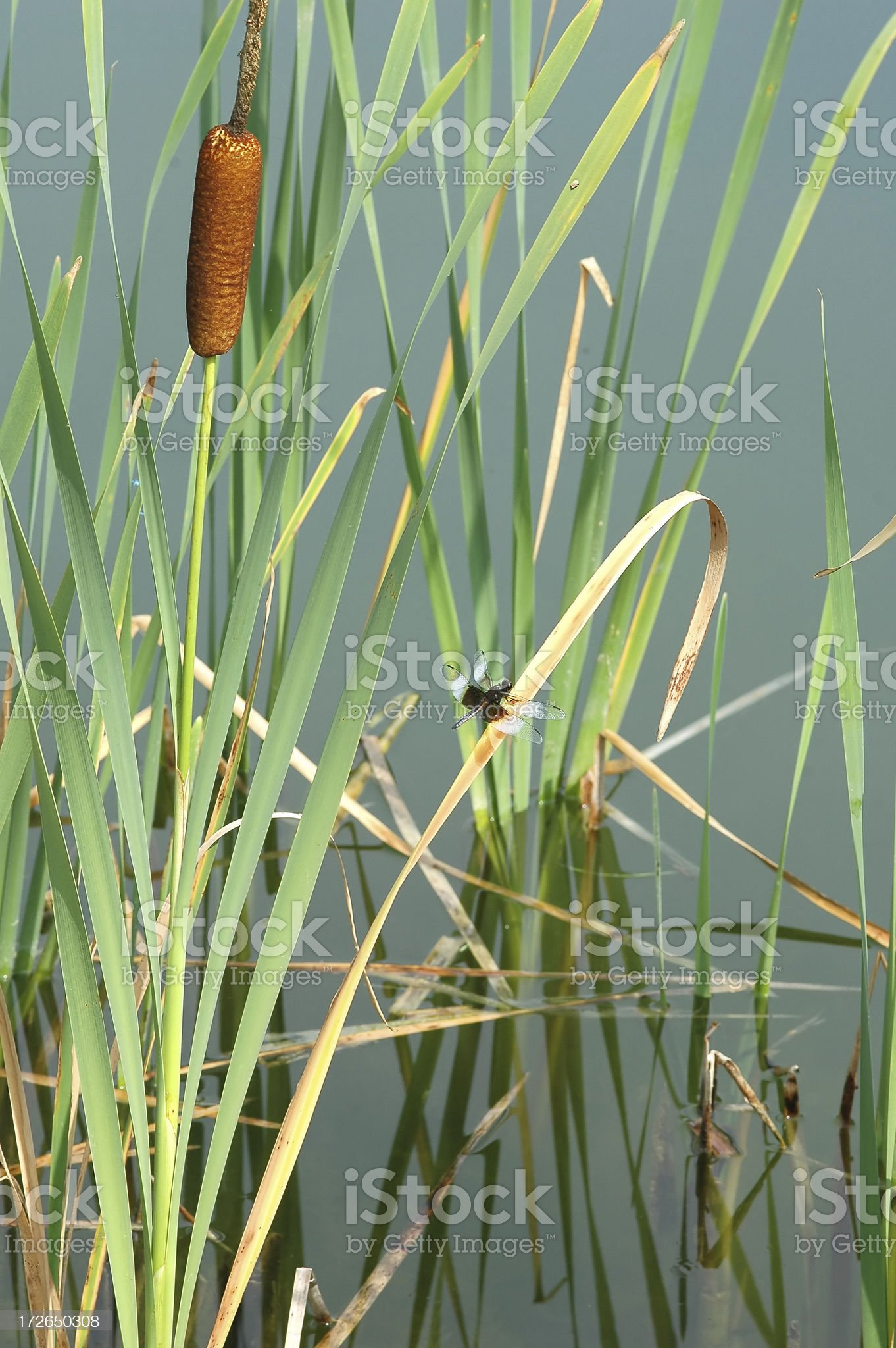 Bullrush with Dragonfly royalty-free stock photo