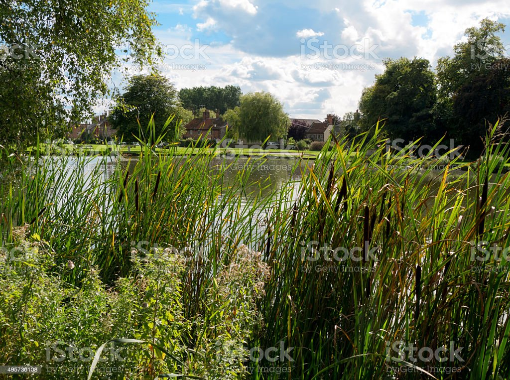 Bullrushes around a village pond stock photo