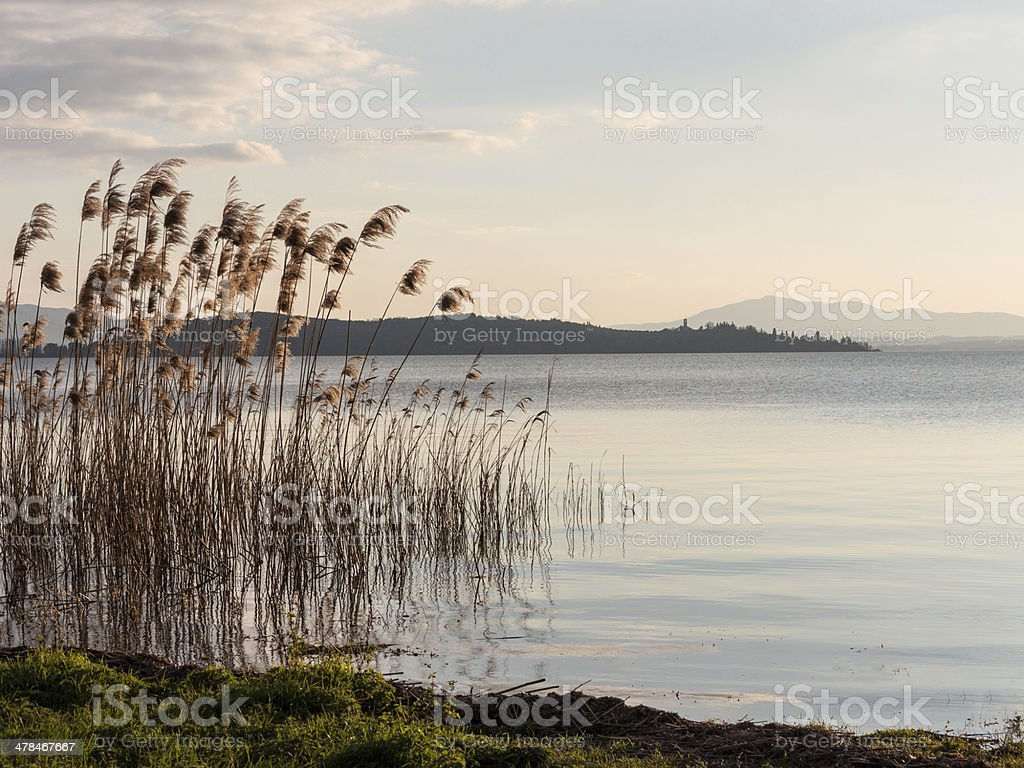 Bullrushes in the Lake at dusk stock photo