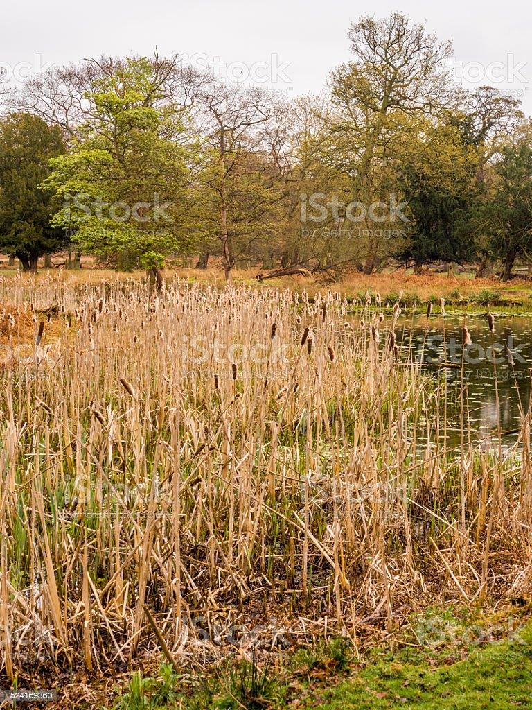 bullrushes stock photo