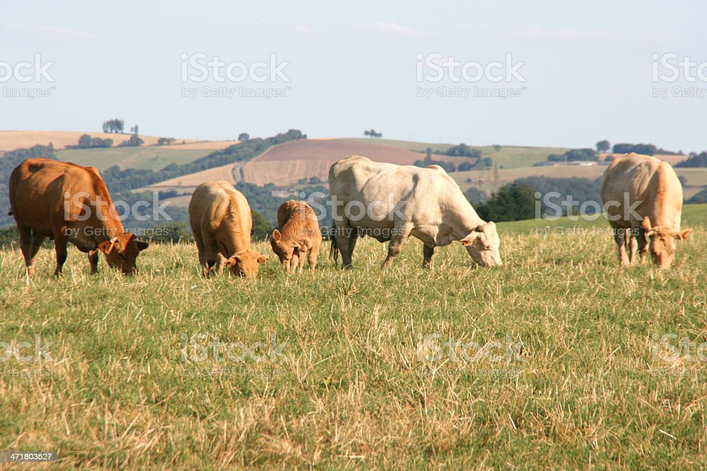 Bulls and cows in a meadow, Aveyron, france, europe royalty-free stock photo