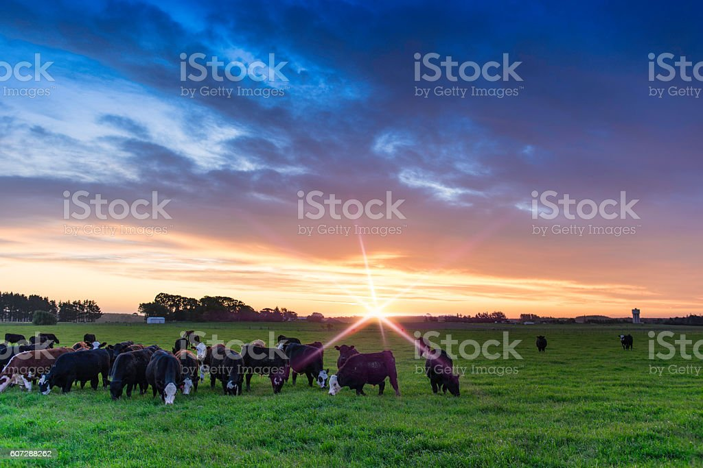 Bulls at sunset with flare stock photo