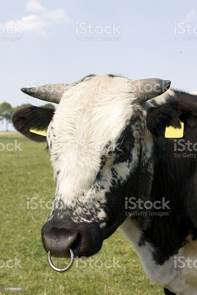 Bull's head with ring royalty-free stock photo